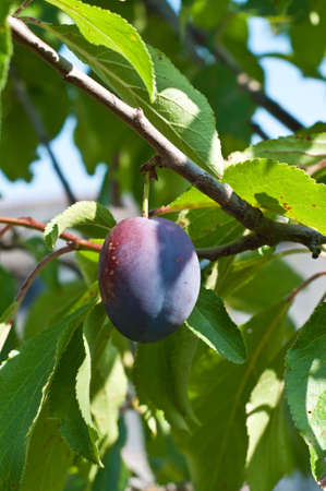 A fresh plum in a tree Stock Photo - 10290022