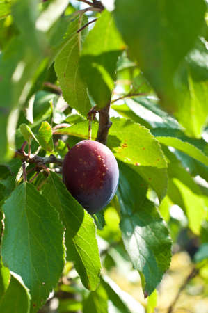 A fresh plum in a tree Stock Photo - 10290019