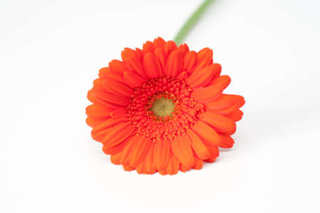 Lonely red gerbera flower isolated on white Stock Photo