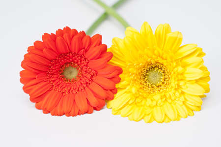 Couple of red and yellow gerbera flowers on white Stock Photo