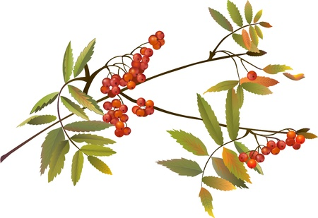 ナナカマドの果実  イラスト・ベクター素材