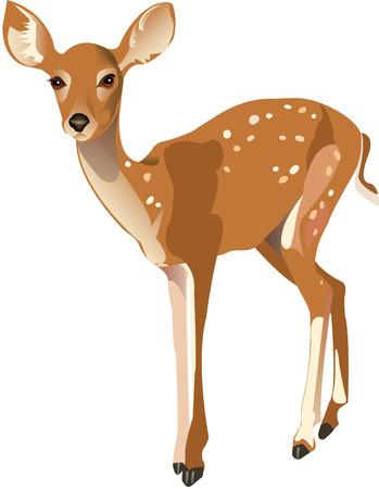 fawn: Fawn Illustration