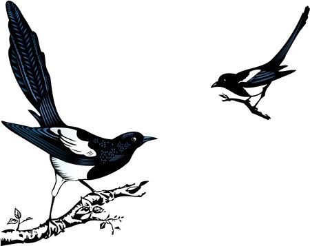 urraca: Magpie posarse sobre una rama Vectores