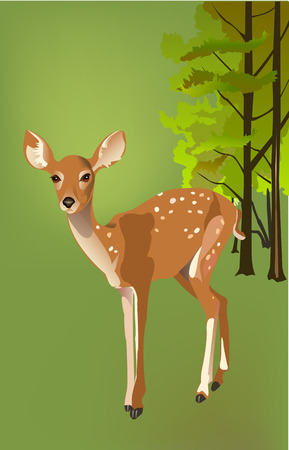fawn: Fawn in the woods Illustration