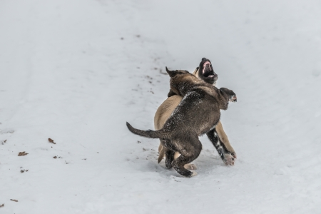 Two cute little dog pups playing and fighting in snow  One has his mouth open, another is biting the other photo