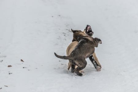 kampfhund: Zwei niedliche kleine Hundewelpen spielen und kämpfen im Schnee hat man mit offenem Mund, ein anderer beißt den anderen