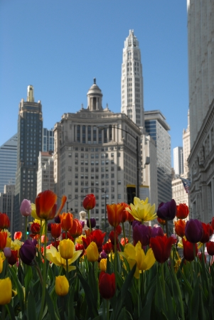 the magnificent: Beautiuful Chicago with tulips in spring