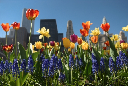 Beautiful flower blossoms in Chicago Downtown  photo