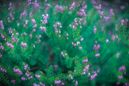 erica: Erica Herbacea, a common decorative flower with purple blossoms start to bloom in spring   Stock Photo