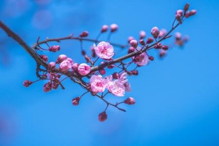 flor de durazno: Flores japonesas sacura Una rama de un paisaje en flor del ciruelo del resorte árbol Close-up Foto de archivo