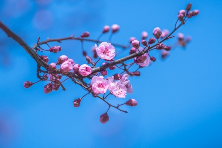 peach blossom: Japanese sacura blossoms  A branch of a blooming plum tree  Spring landscape  Close-up