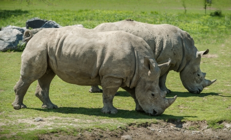 A couple of white Rhinoceros Grazing together  It is a beautiful sunny spring day  photo