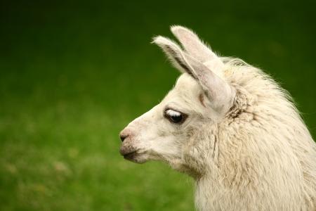 White, sad furry lama glama close up portrait Stock Photo - 14845382