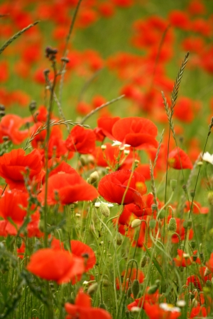 Field full of red poppies flowers photo