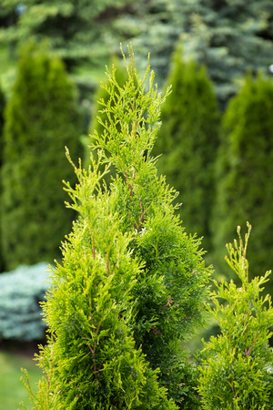 thuja occidentalis: Green thuja tree in spring. Nature garden photography