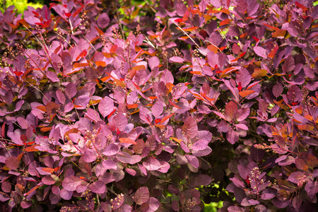 pink brown: Pink, brown and red barberry bush in spring garden Stock Photo