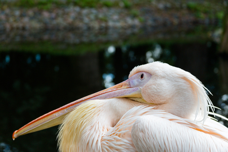 Funny thinking pelican
