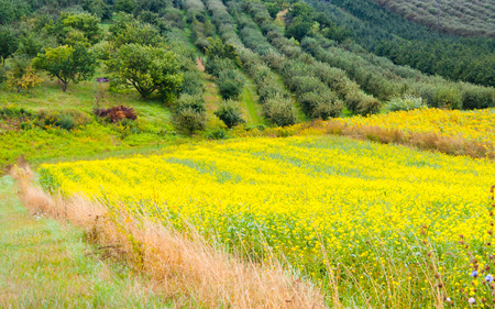 canola: Colza plant yellow and green field