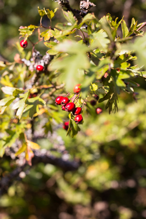 Red hawthorn berries in autumn