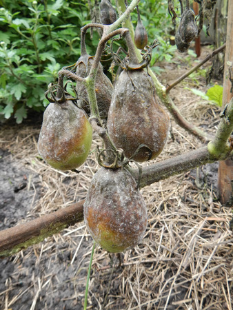 ravaged: Tree rotten green tomatoes hanging over velour grasses on vegetable patch Stock Photo