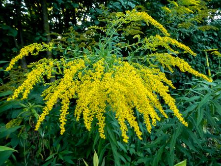 hybrida: Solidago hybrida, yellow flowers
