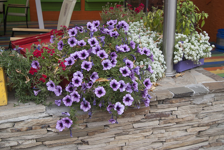 The white purple petunias and the bushes Stock Photo