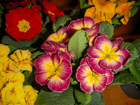 The variety of Primrose with green leaves Фото со стока - 75246439