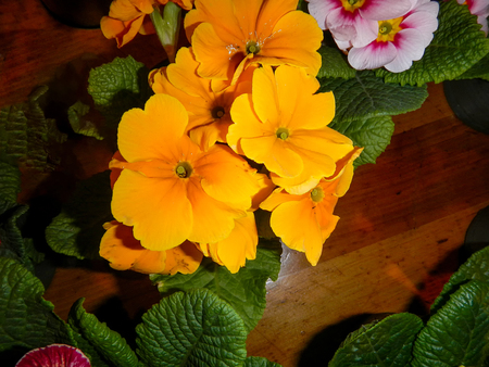 The variety of Primrose with green leaves Фото со стока - 75246440