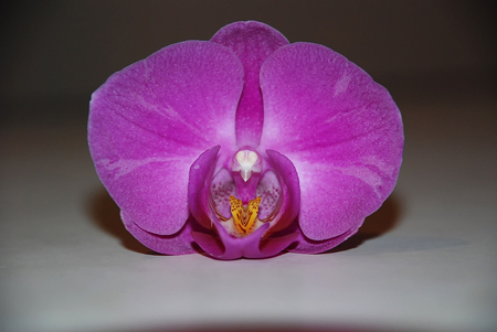 the pink orchid on a grey wall Фото со стока - 75259475