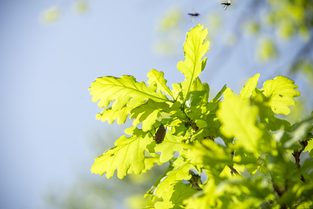 May bugs on a branches with leaves Фото со стока - 78068433