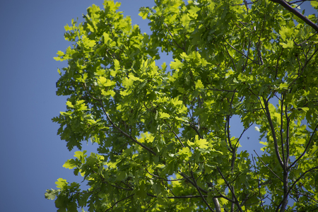 young spring green foliage of poplar close-up
