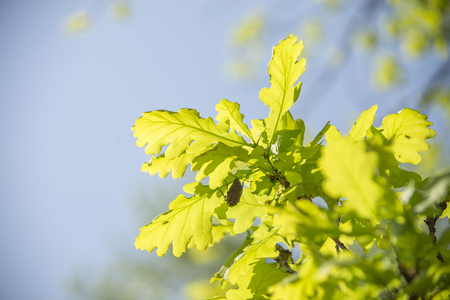 May bugs on a branches with leaves