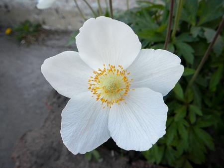White flowers rockrose or Cistus and Halimium Фото со стока - 78069650