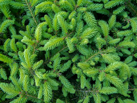 Plenty of Young green fresh spruce branches around Фото со стока