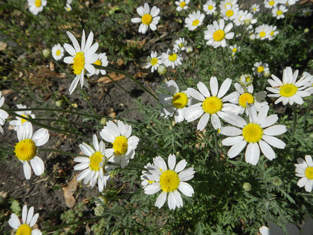 White daisies on dusty green leaves background                                Фото со стока