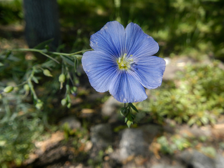 The blue flax flower and leaves close-up