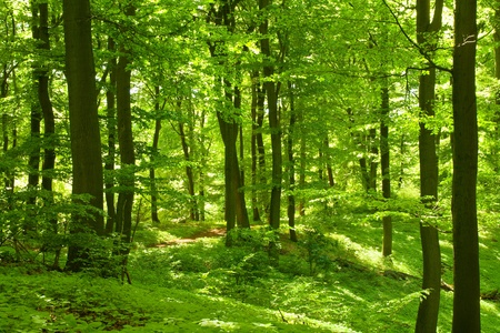 deciduous forest: Green forest