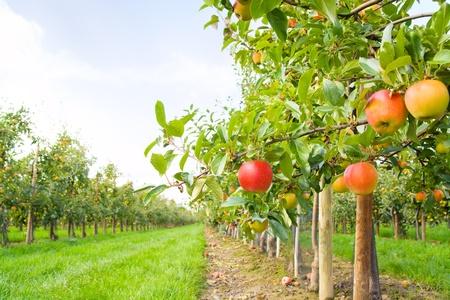 Apple boomgaard Stockfoto