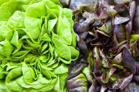 Red and green spinach heads photo