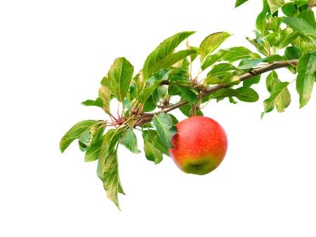 feuille arbre: Apple sur la branche Banque d'images