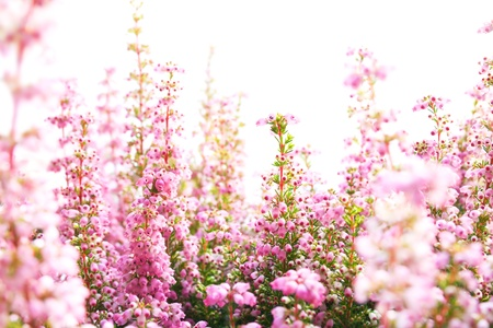 Closeup of heather blossoms over white Imagens