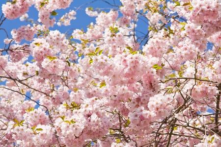Blooming cherry tree Stock Photo