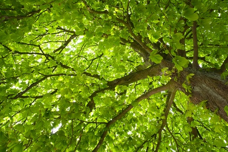 Chestnut tree Stock Photo - 12417371
