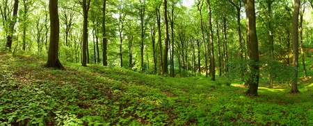 Green summer forest panorama