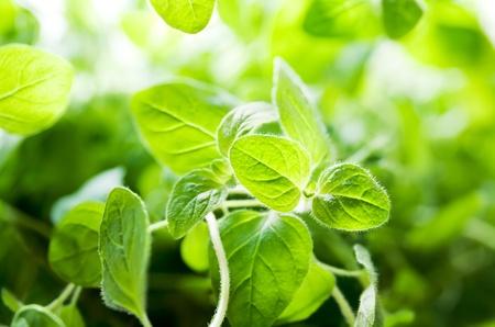 oregano plant: Leaves of a fresh green oregano plant