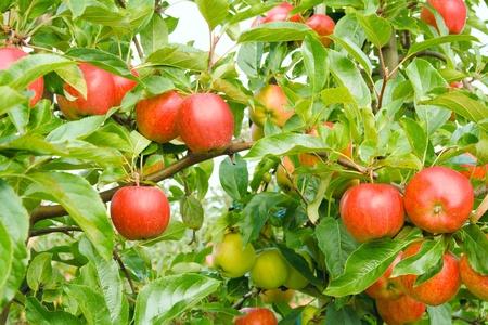 Rijpe appels in boomgaard Stockfoto