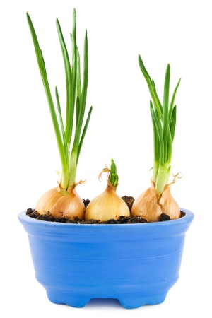 Homegrown onions with sprouts in a blue plant pot