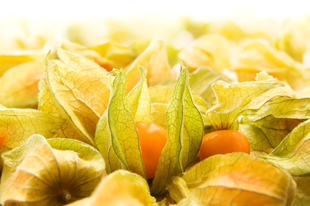 physalis: Large group of winter cherries