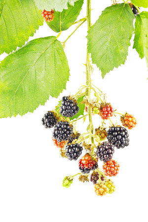 wildberry: Branch with blackberries and leaves isolated on white