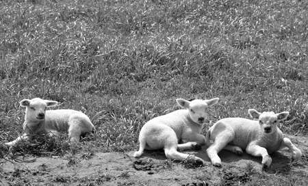 Three lambs in the pasture in black and white Stock Photo - 13496910